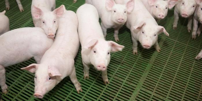 afrikanische-schweinepest