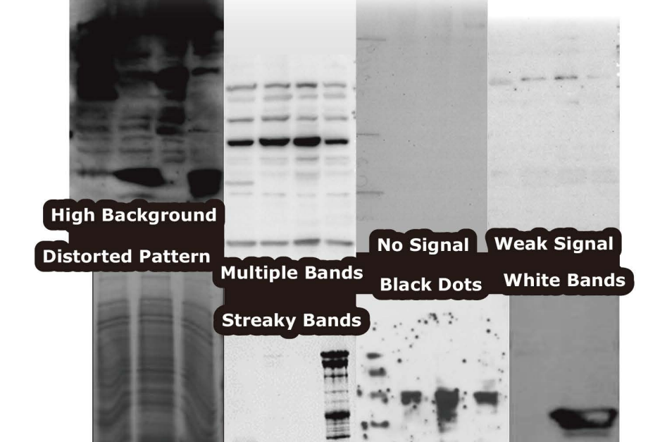 Western-Blot-Troubleshooting-Tips