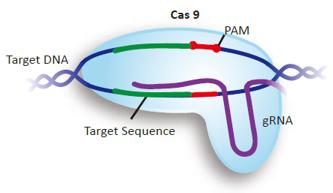 GenScript-CRISPR-sgRNA-Design-Tool