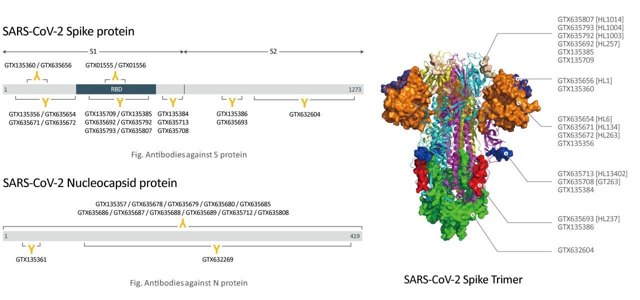 SARS-CoV-2 Spike-Protein und Nukleocapsid-Protein