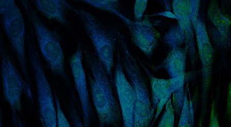 3D-Zellkultur mit Quallenkollagen
