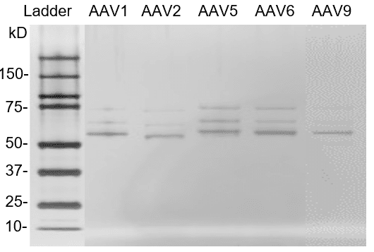 Silver staining Western Blot of AAV empty capsids reference