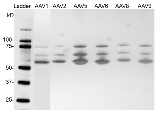 Silver staining Western Blot of AAV full capsids reference